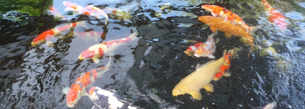 Midland Koi Association